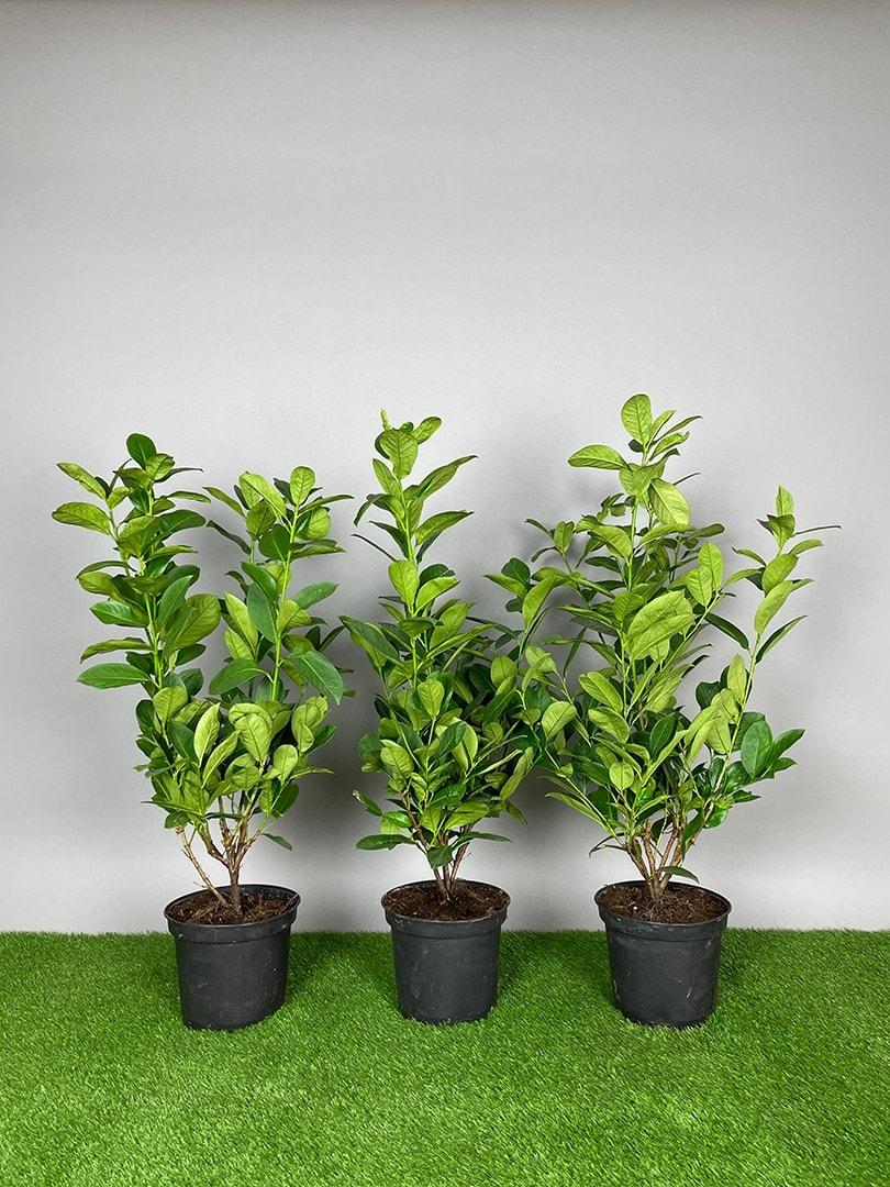 Kirsebærlaurbær - Prunus Rotundifolia