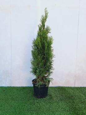 Thuja - Smaragd