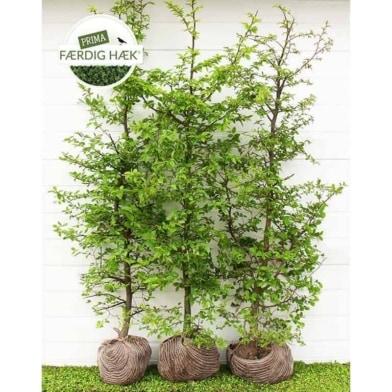 Avnbøg - Carpinus Betulus - Prima Færdighæk