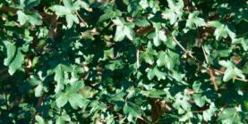 Acer Campestre - Naur - Prima Færdighæk