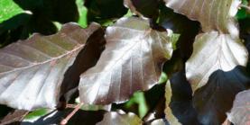 Rødbøg - Fagus Sylvatica Purpurea