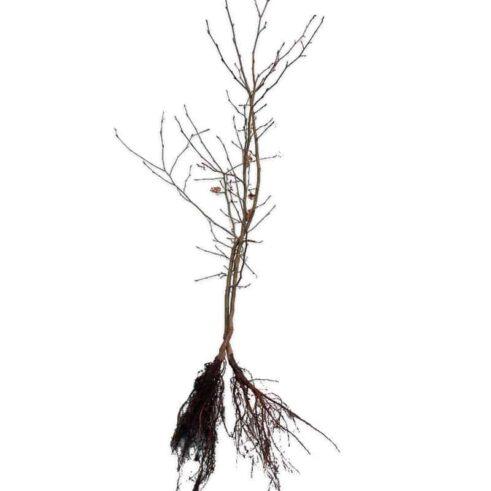 Avnbøg - Carpinus Betulus - Barrod
