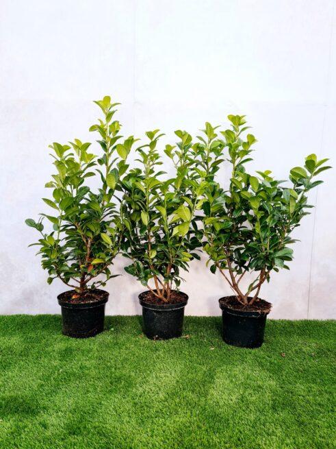 Kirsebærlaurbær - Prunus Ani