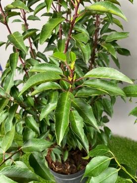 Kirsebærlaurbær - Angustifolia Lusitanica