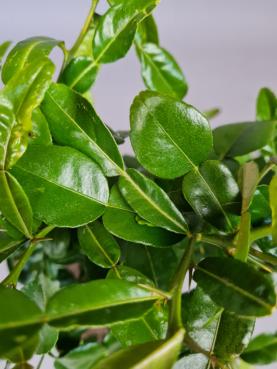 Kaffir Lime 'Hystrix'