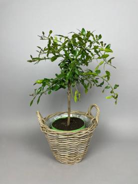 Kaffir Lime 'Hystrix' - 70-90cm