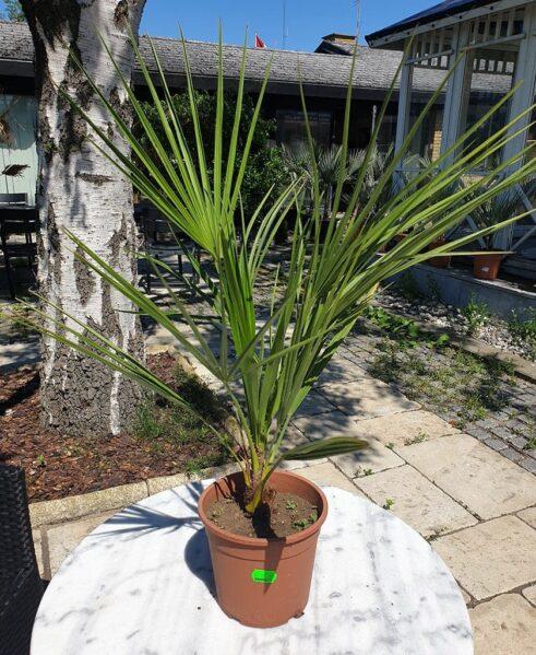 Viftepalme - Chamaerops Humilis - 50-70cm