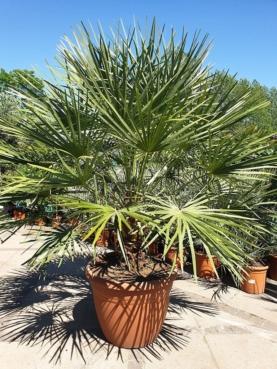 Viftepalme - Chamaerops Humilis - 170-190cm