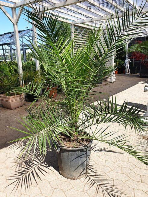 Fønikspalme - Phoenix Canariensis - 150-170cm