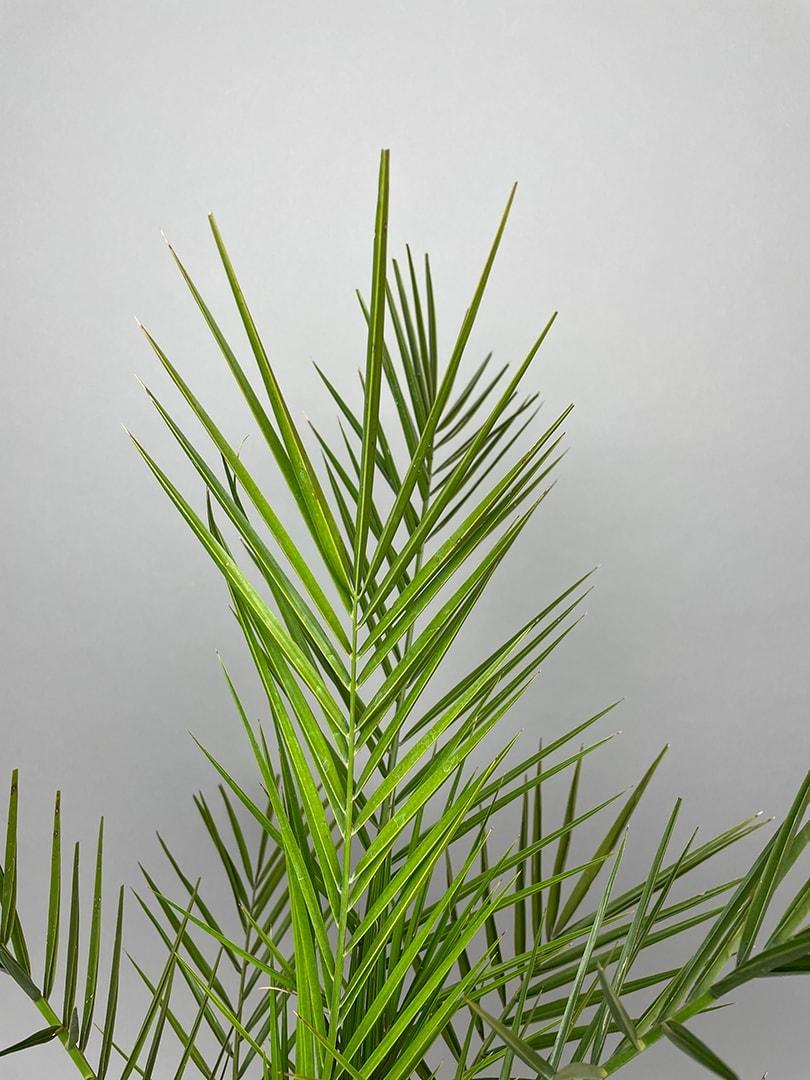 Fønikspalme – Phoenix Canariensis