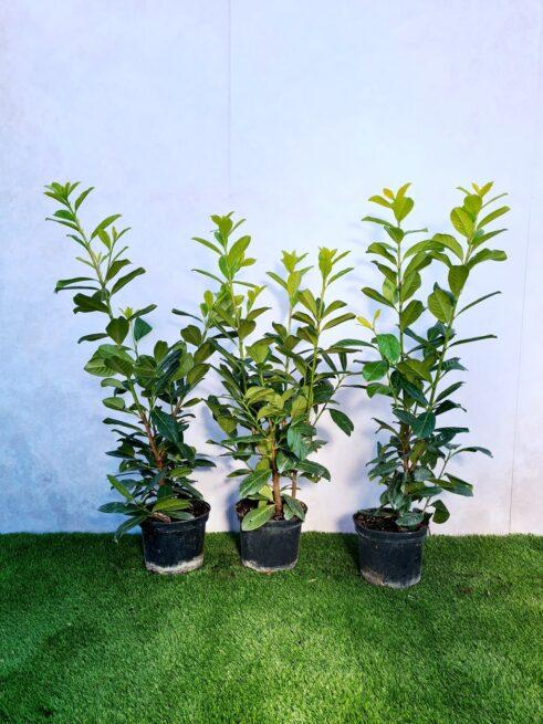 Kirsebærlaurbær - Prunus Novita