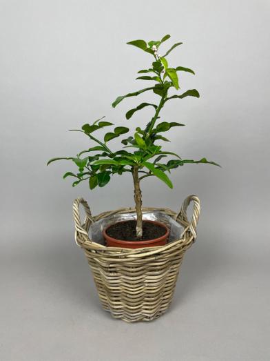 Kaffir Lime 'Hystrix' - 40-60cm