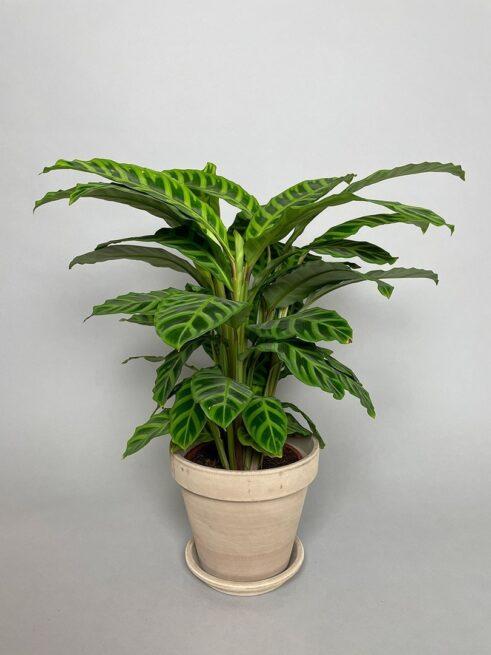 Calathea 'Zebrina'