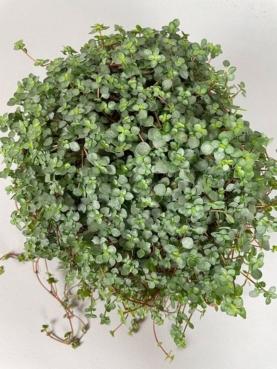 Pilea glaucophylla 'Greyzy'