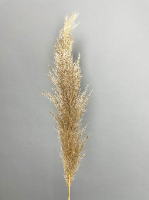 Natur Pampasgræs