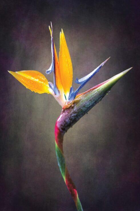 Papegøjeblomst - Plakat