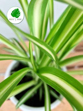 Chlorophytum 'Væddeløber' 25-40cm