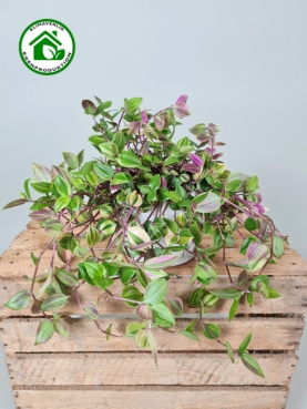 Tradenscantia 'Tricolor Rosa' 15-20cm