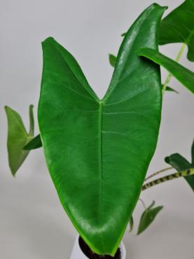 Alocasia 'Zebrina' 80-100cm