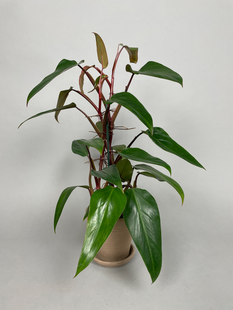 Philodendron 'Ruby Red'