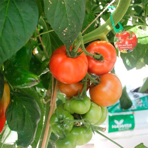 Elin Tomat
