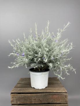 Australsk Silkeblomst 'Eremophila Nivea'