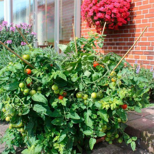 Siderno Cherry Busk Tomat