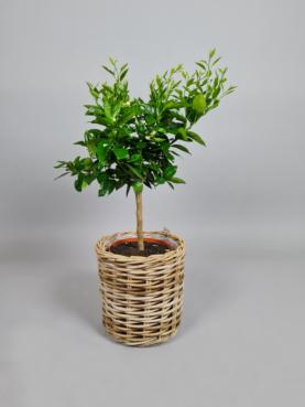 Appelsintræ - 60cm