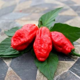 Bhut Jolokia chili