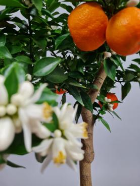Mandarin 'Chinotto'