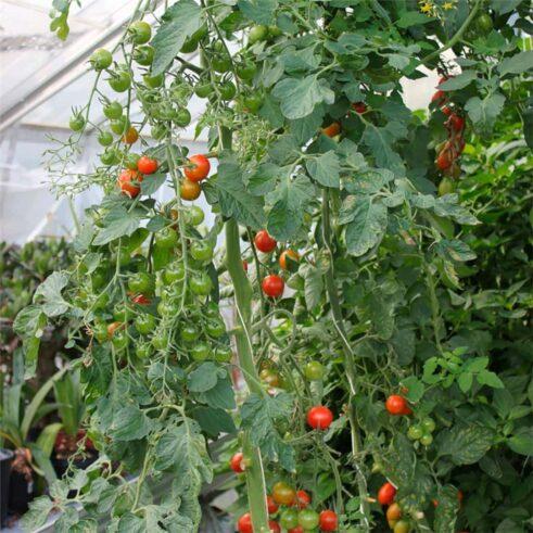Favorita Cherry Tomat