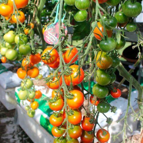 Garten Freude Cherry Tomat