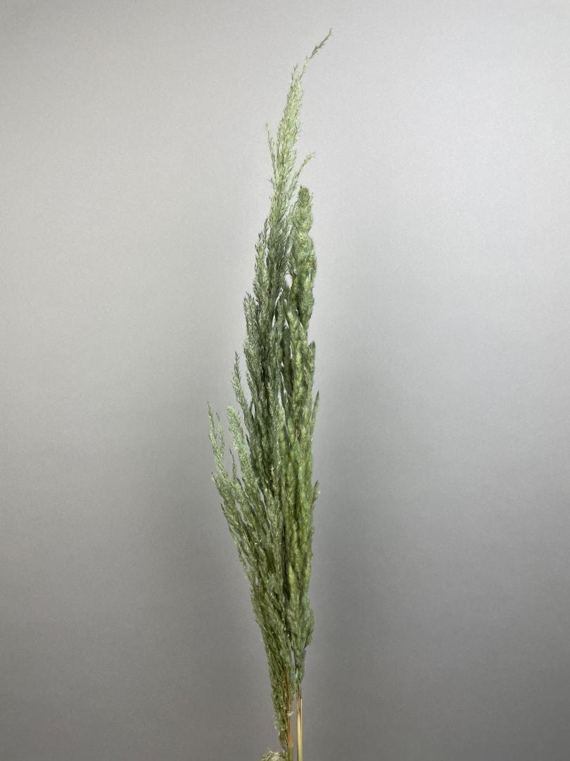 Grøn Eryanthus