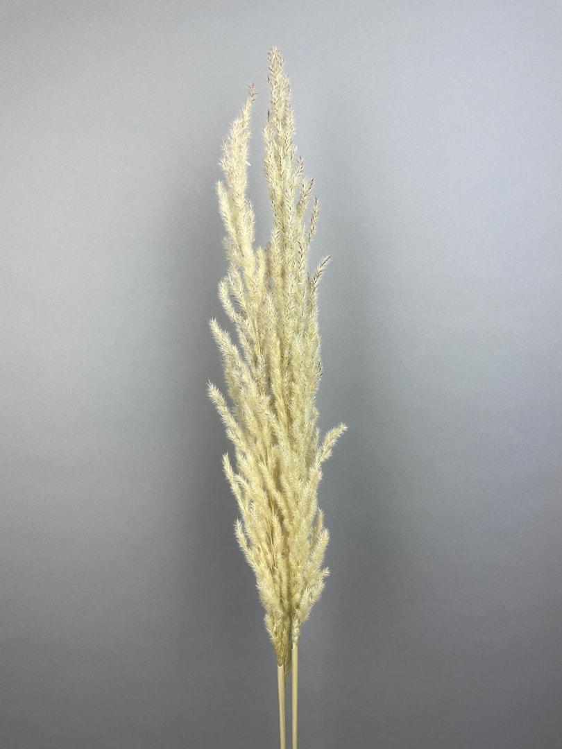 Gul Eryanthus
