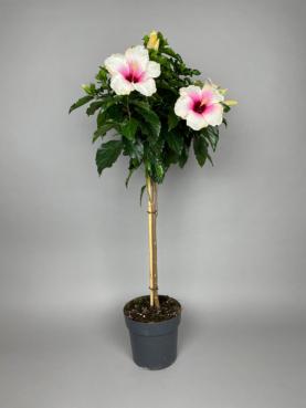 Opstammet Hibiscus 'Hawaiiblomst'
