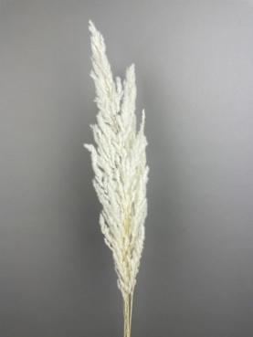 Hvid Eryanthus
