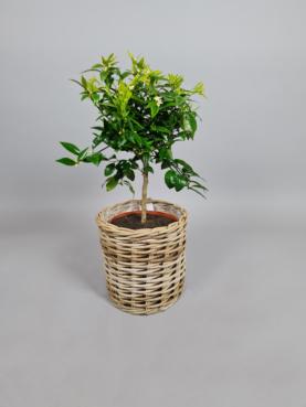 Klementintræ - 60cm