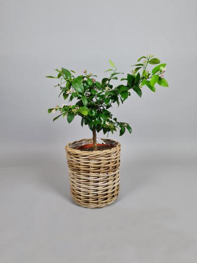 Rød Lime 'Rosso' - 60-70cm
