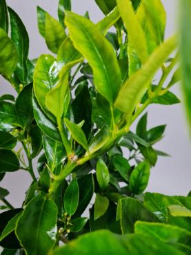 Lime 'Verde'