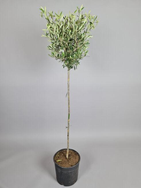 """Oliventræ """"Olea Europaea"""" - 160cm"""
