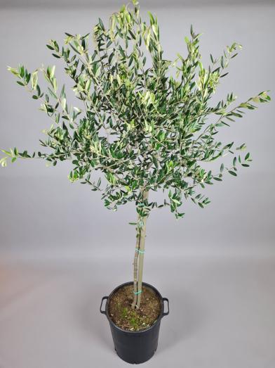 """Oliventræ """"Olea Europaea"""" - 200cm"""