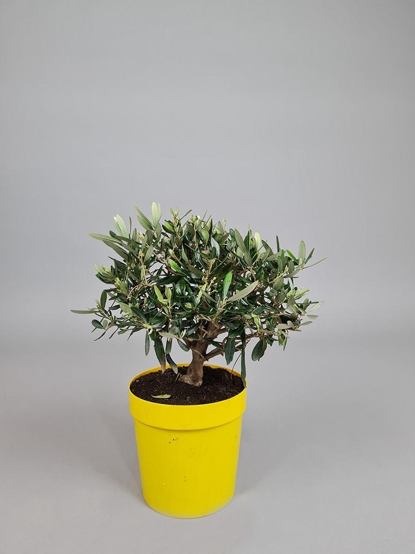 """Oliventræ """"Olea Europaea"""" - 40-45cm"""