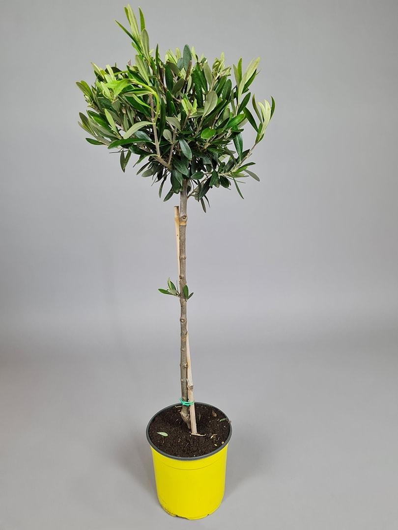 """Oliventræ """"Olea Europaea"""" - 80-90cm"""