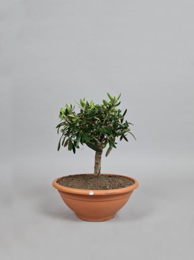 """Oliventræ """"Olea Europaea"""" - 30-40cm"""