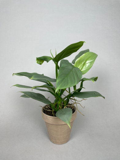 Philodendron 'Silver Sword'