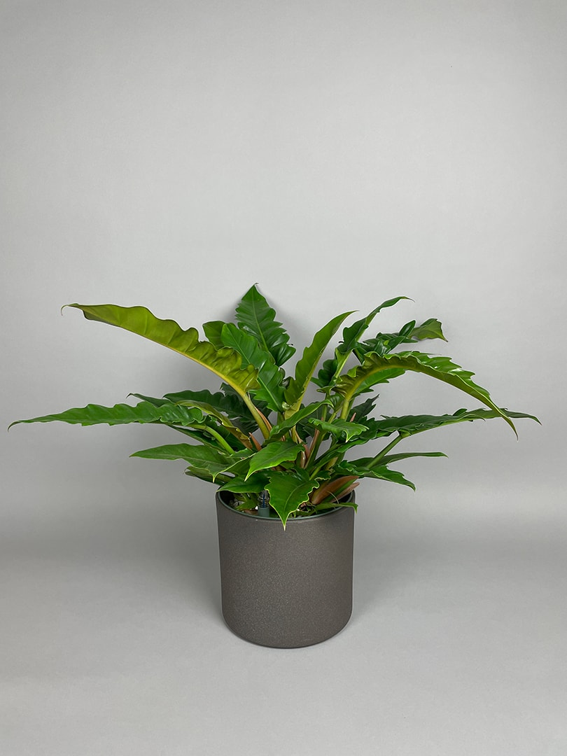 Philodendron Narrow 'Tiger Tooth'