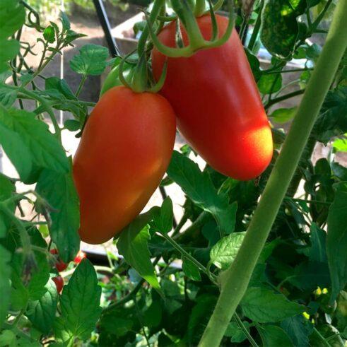 San Marzano Faktor Tomat