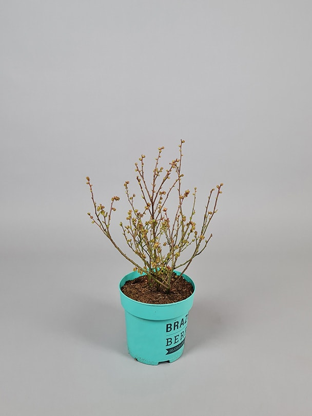 Blåbær 'Perpetua'