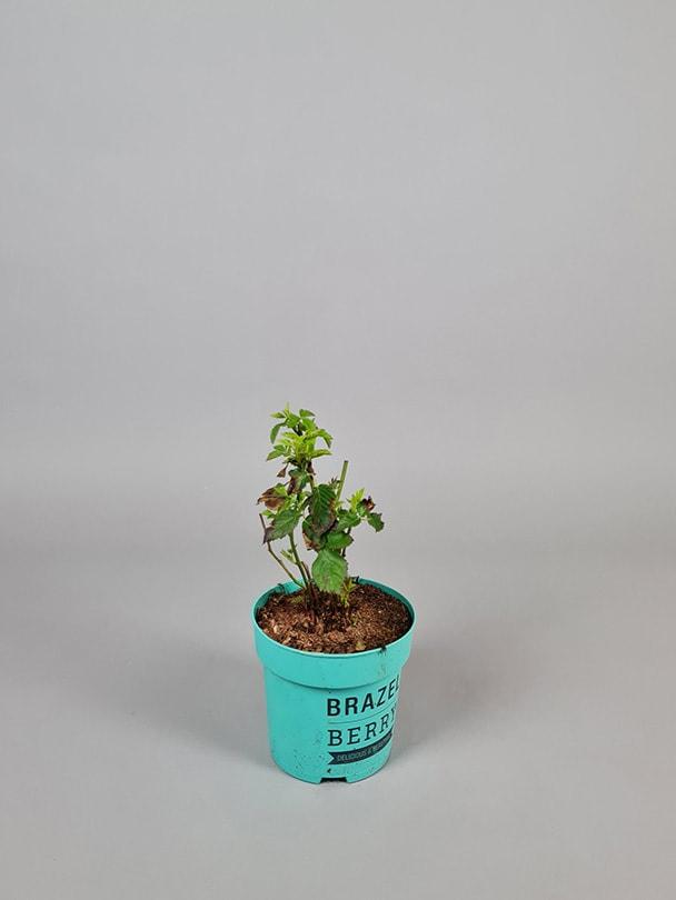 Brombær 'Baby Cakes'