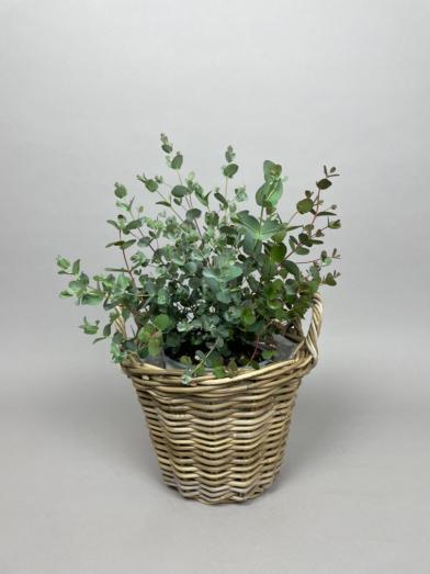 Eucalyptus 'Gunnii' - 30-40cm